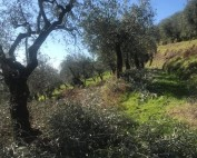 pruning season olives tree