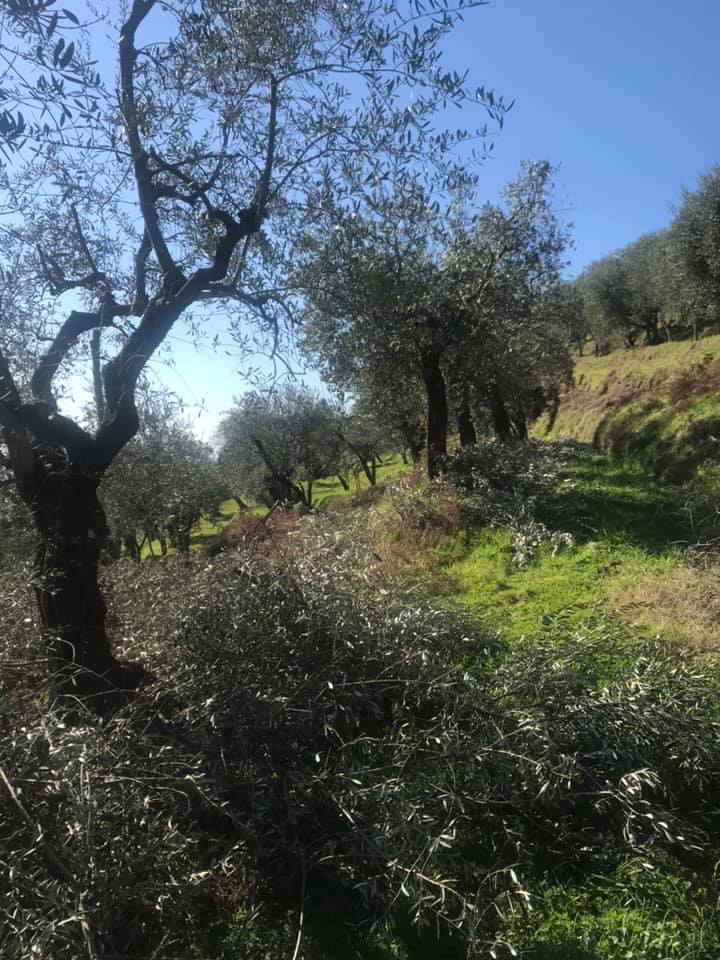 pruning season olives tree