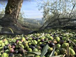 Olives from Podere gli Scassi