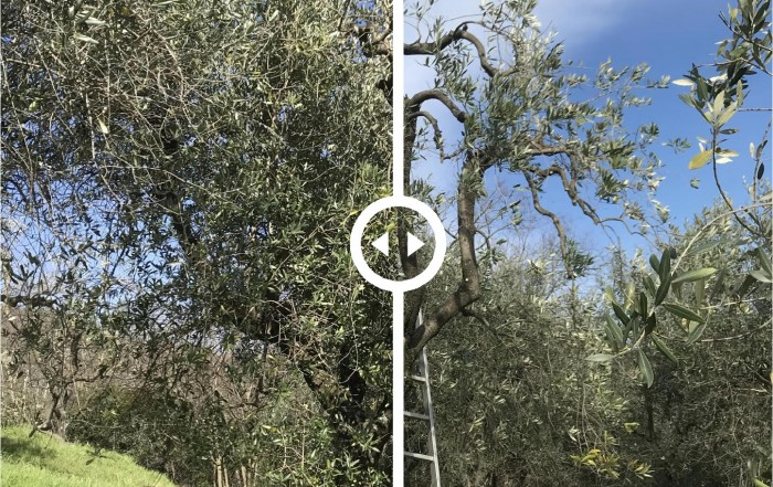 Before/After Olive Pruning
